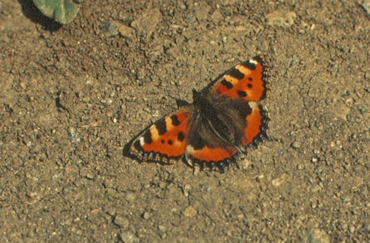 vlinderkl_0028