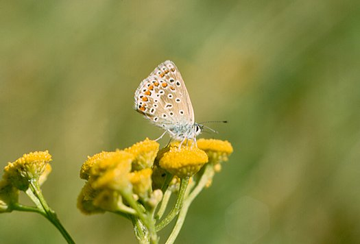 vlinderkl_0030