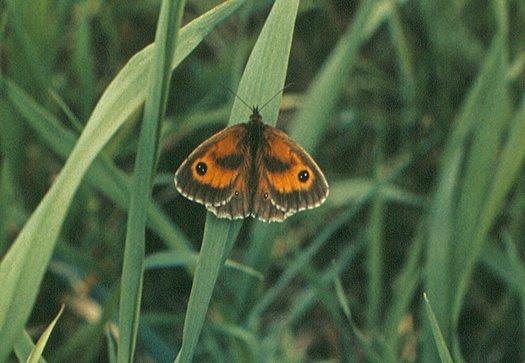 vlinderkl_0031