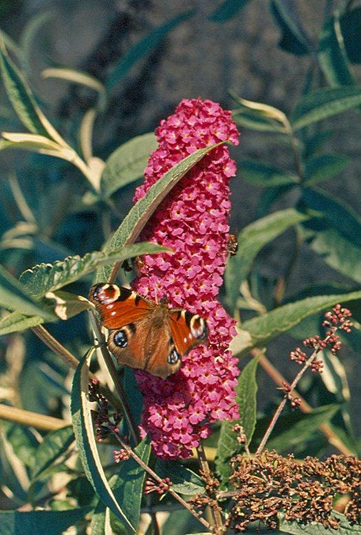 vlinderkl_0033